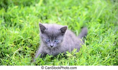Gray kitten sitting in grass on the lawn - Gray kitten...