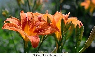 Beautiful orange lilies in the garden