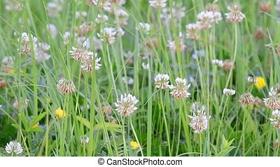 White clover flowers on a green field filling the frame