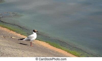 Beautiful seagull stands on concrete embankment and walks...