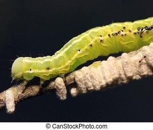 Caterpillar parasitized by an Ichn - Caterpillar is still...