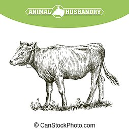 sketch of calf drawn by hand livestock cattle animal grazing...