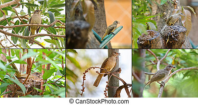 Collage set of streak - eared bulbul bird on tree nest and...