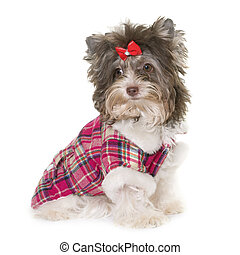 dressed puppy biro yorkshire terrier in front of white...