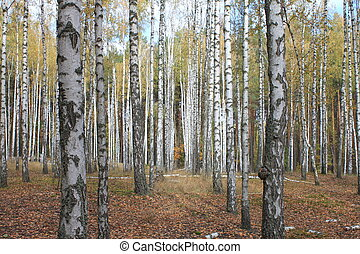 Grove of birch trees and dry grass in early autumn, yellow...