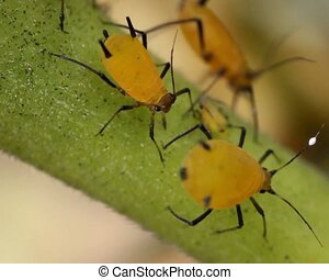 Oleander Aphids Aphis nerii - A pest of Oleander and...
