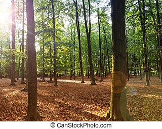 Beech forest with sun beam - Beautiful beech forest with sun...