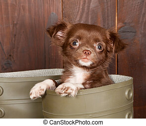 Chihuahua in a boot - Big boots with a three months old...