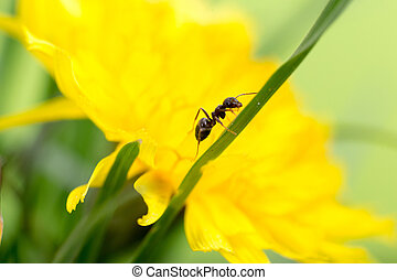 ant on a blade of grass on a yellow background close-up,...