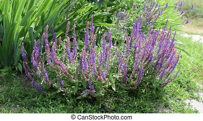 Garden sage with bees on it - Salvia officinalis Garden sage...