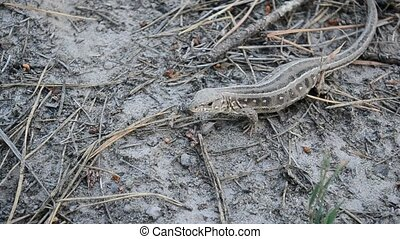 Lacerta agilis. Sand lizard on the ground in forest