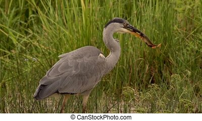 grey heron hunting at a lake