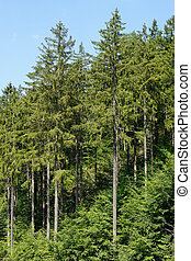 european spruce trees or picea abies. Harz mountains in...