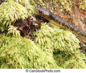 Checkerbelly Snake (Siphlophis cerv