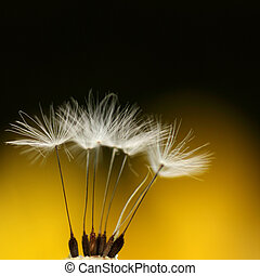 feathery - detail of a ripe dandelion blossom