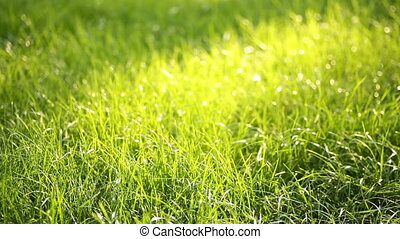 Evening grass with dew in summer park