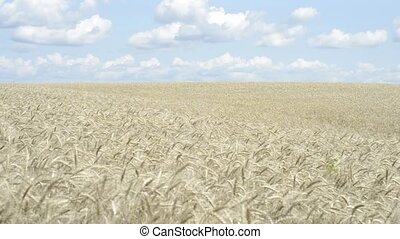 cereals - the grain yield in the field ripens