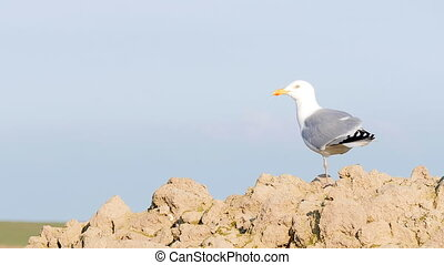 Seagull with one leg flies away and out of focus