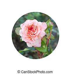 Pink and peach rose on green leaves background in the garden