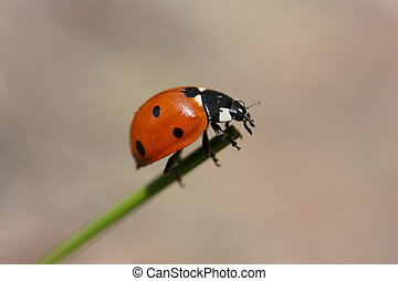Daring Ladybug  - a ladybug on the end of a grass stalk