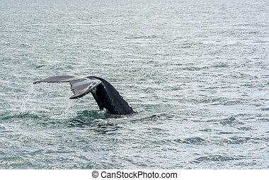 Humpback Whale diving. - Humpback Whale diving in north...