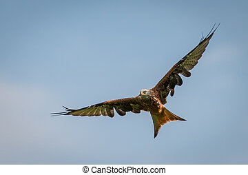 big red kite flying with openend splayed wings on blue sky