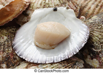 raw scallops, opened shell, close up