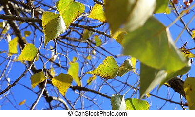 golden leaves of poplar on tree against blue sky