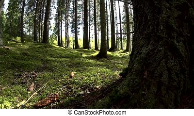 swedish forest in summer - sweden