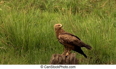 Lesser spotted Eagle on a meadow