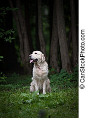 golden retriever in a forest