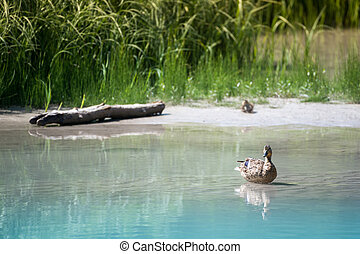 mother duck sits in water while baby waits in grass on...