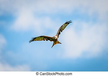beautiful majestic red kite bird with openend wings hunts...