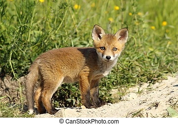 cute fox cub looking at camera - cute red fox cub looking at...