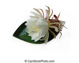 Queen of the night Brahma Kamal One - The Bramha Kamal is a...