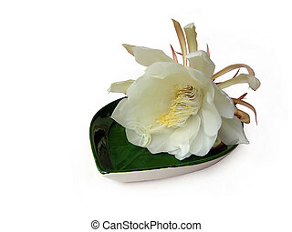 Queen of the night Brahma Kamal Three - The Bramha Kamal is...