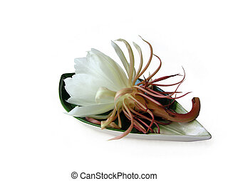 Queen of the night Brahma Kamal Four - The Bramha Kamal is a...