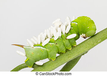 Larva with wasp pupae cocoons
