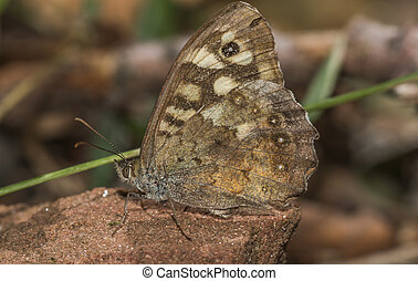 Speckled wood butterfly (Pararge aegeria) - A speckled wood...