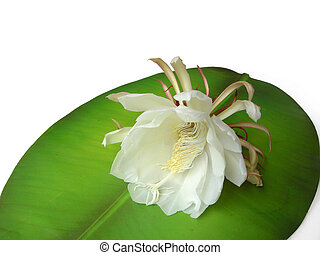Queen of the night Brahma Kamal Eight - The Bramha Kamal is...