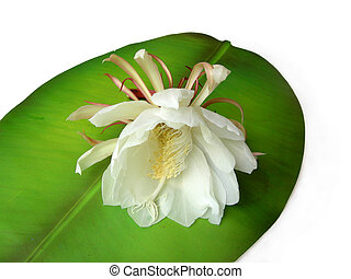 Queen of the night Brahma Kamal Nine - The Bramha Kamal is a...