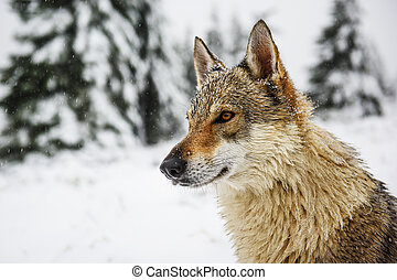 Wolf in the snow - Wolf in fresh snow in the mountains