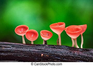 Mushrooms fungi cup - Mushrooms orange fungi cup Cookeina...