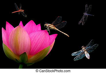 Dragonfly and water lily close-up - Water lily flower with...