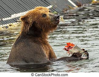 marrón, oso, comida, Un, Salmón, agarrado, en,...