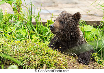 Small brown bear on bridge fence to account for fish Kurile...