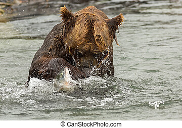 Brown bear trying to catch a fish on Kurile Lake Southern...