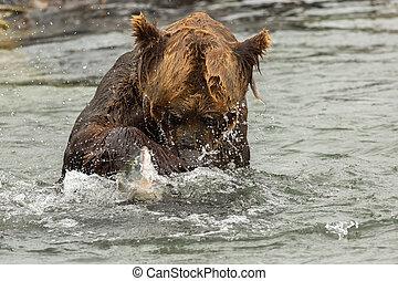 marrón, oso, Tratar, a, coger, Un, pez, en, Kurile,...