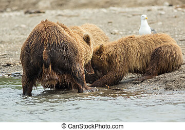 Brown bear divides caught fish with cubs Kurile Lake - Brown...