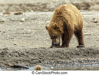 Brown bear eating fish seized from the mother Kurile Lake -...